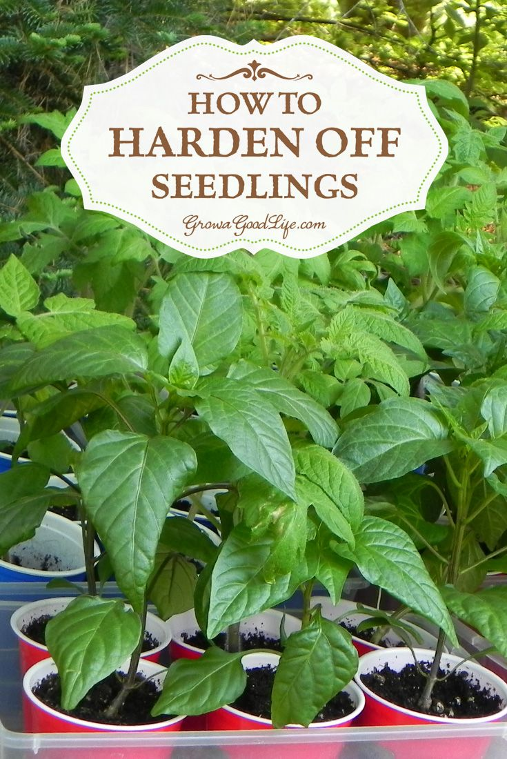 """If you grow your own seedlings indoors under lights, or if you purchase transplants from a nursery greenhouse, you will need to acclimate your seedlings before transplanting them into the garden. This adjustment process is called """"Hardening Off."""""""