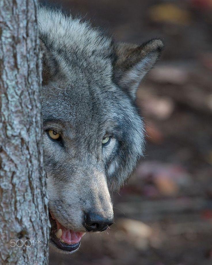 Grey Wolf by Dave Van de Laar on 500px More