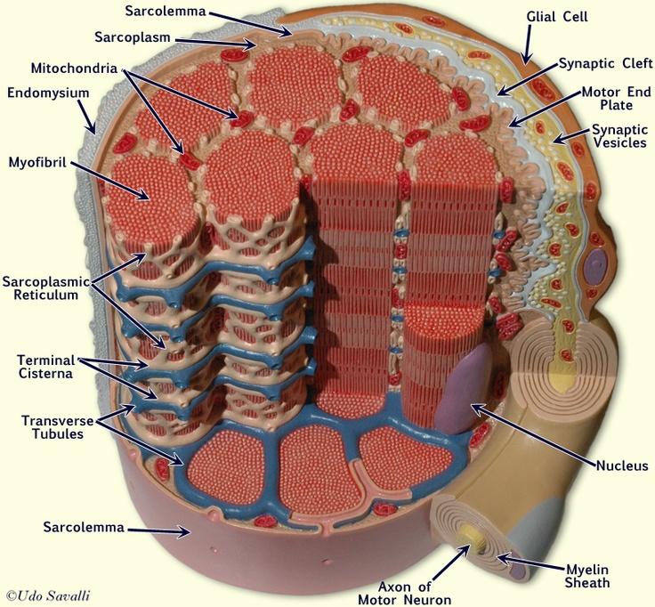 Muscle Fiber Model: Motor Neuron, Myeline Sheath, Node of Ranvier, Synaptic Terminal, Synaptic Cleft, Endomysium, Sarcolemma, Nuclei, Mitochondria, T-tubules, Sarcoplasmic Reticulum, Myofibrils
