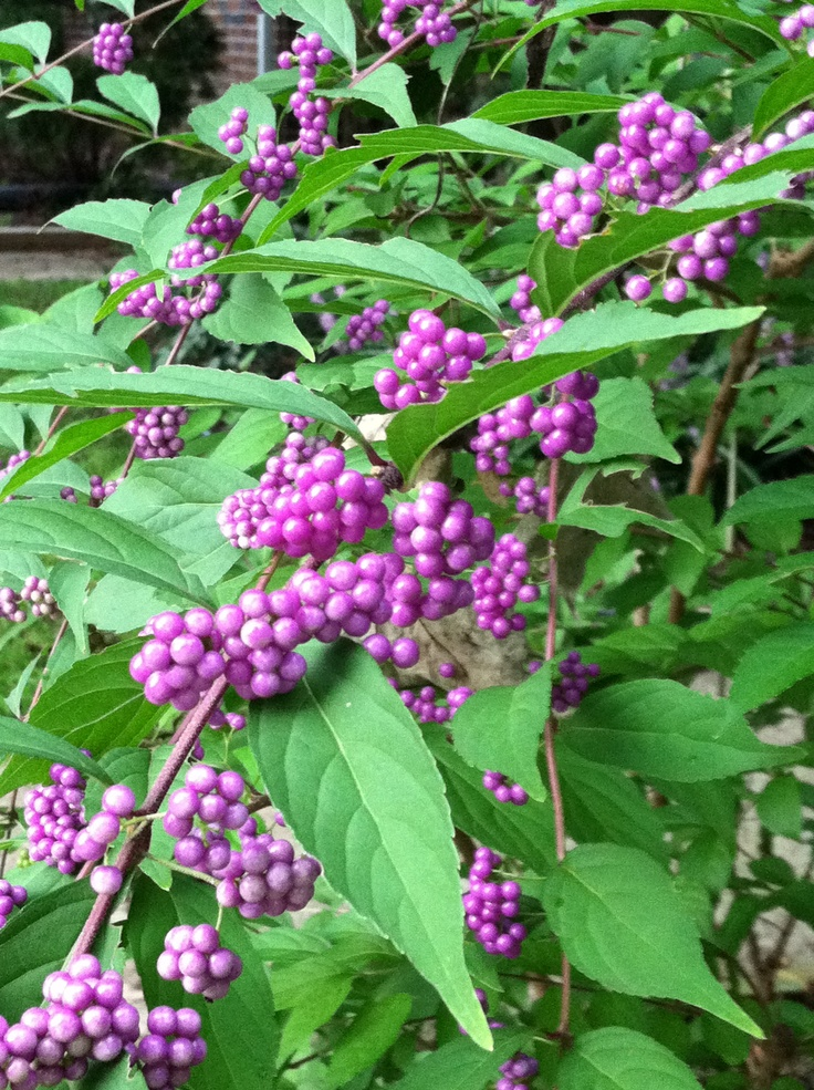 86 Best Great Shrubs For Zone 5 6 Images On Pinterest