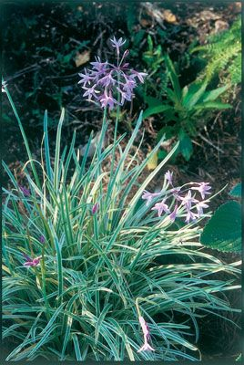 Society garlic is an attractive ornamental plant from South Africa whose leaves have a garlicky odor. Learn more.data-pin-do=
