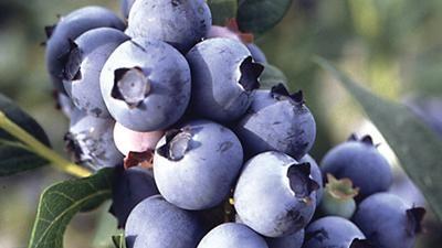 O mirtilo, fruto adocicado, possui muitos benefícios para a saúde. Aprenda a preparar seu chá, descubra suas propriedades e seus efeitos na saúde.