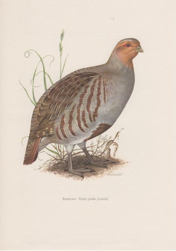 1957 Grey Partridge Antique Print Vintage Lithograph Perdix perdix English Partridge Hungarian Partridge Hun Gamebird Ornithology Bird…