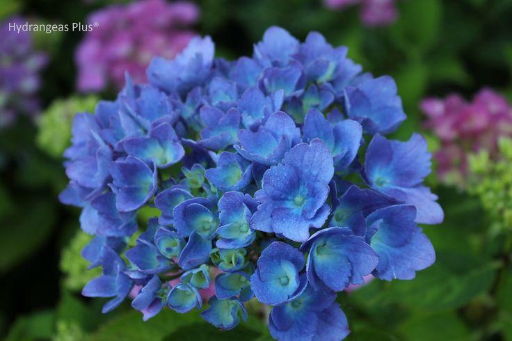 Very Blue Hydrangea Good For Containers Hydrangea Macrophylla Growing Hydrangeas Hydrangea Varieties