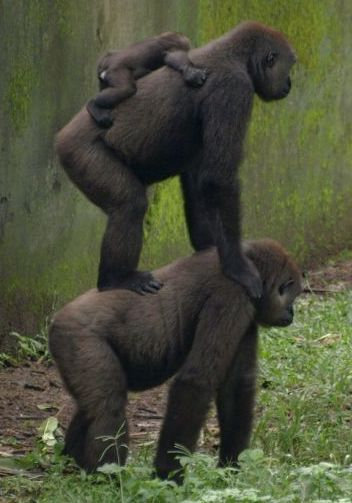 Gorilla Back!
