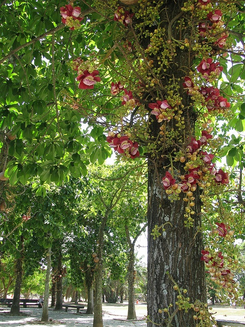 Árvore de Abricó de macaco, com suas flores.