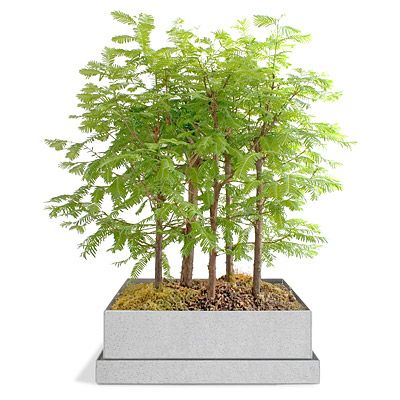 Look what I found at UncommonGoods: dawn redwood bonsai forest... for $50 #uncommongoods