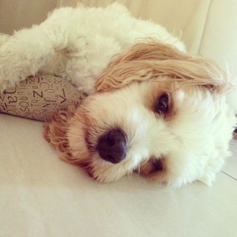 Via myoodle.com My Oodle, Oodle, Doodle, Dog, Poodle, Poodle Mix, Poodle Hybrid,  Cavoodle,  Cavapoo, Labradoodle, Maltipoo, Moodle, Goldendoodle, Bichpoo, Spoodle, Cockapoo, Cockerpoo,  Groodle,  Schnoodle, Shipoo, Cute Dog, Bichpoo