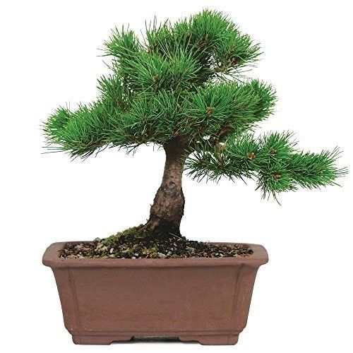 Bonsai Tree Japanese Five Needle Pine Plant 5 Years Tray Outodor Bset Gift NEW #BonsaiTreeJapanese