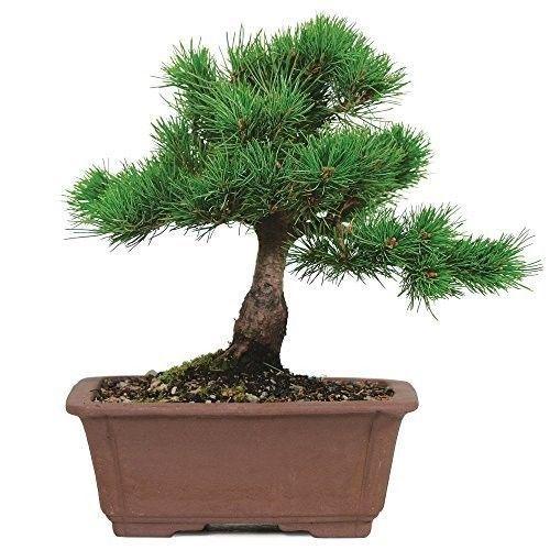 Bonsai Tree Japanese Five Needle Pine Plant 5 Years Tray Outodor Bset Gift NEW #BonsaiTreeJapanese