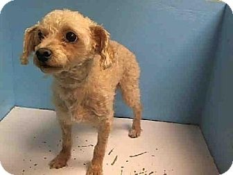 Tom is a small poodle in Animal Care & Control of NYC  http://www.adoptapet.com/pet/8904723-new-york-new-york-poodle-toy-or-tea-cup-mix