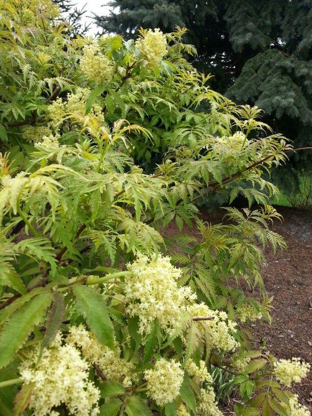Sambucus Racemosa Sutherland Gold Golden Elderberry