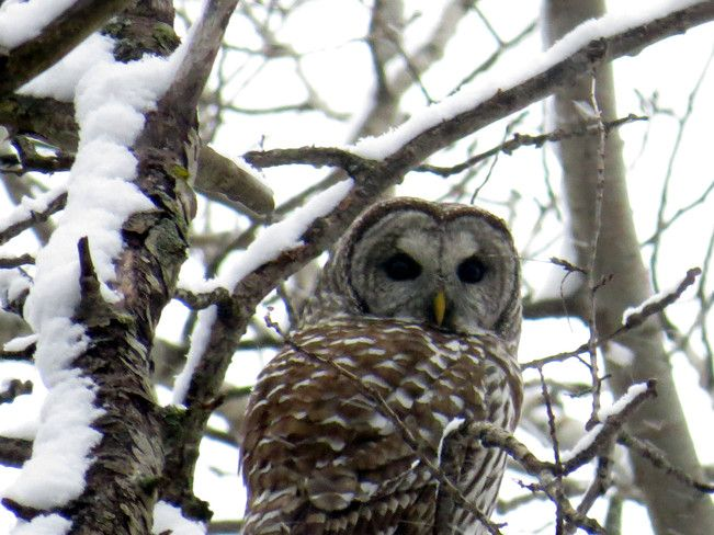 barred owl, Guelph, Ont. Canada