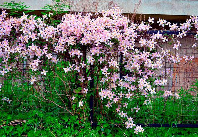Vælg den rette klatreplante til dit behov. Her er 10 bud på fascinerende slyngplanter og klatreplanter til din have med plantetips og råd til dyrkning.