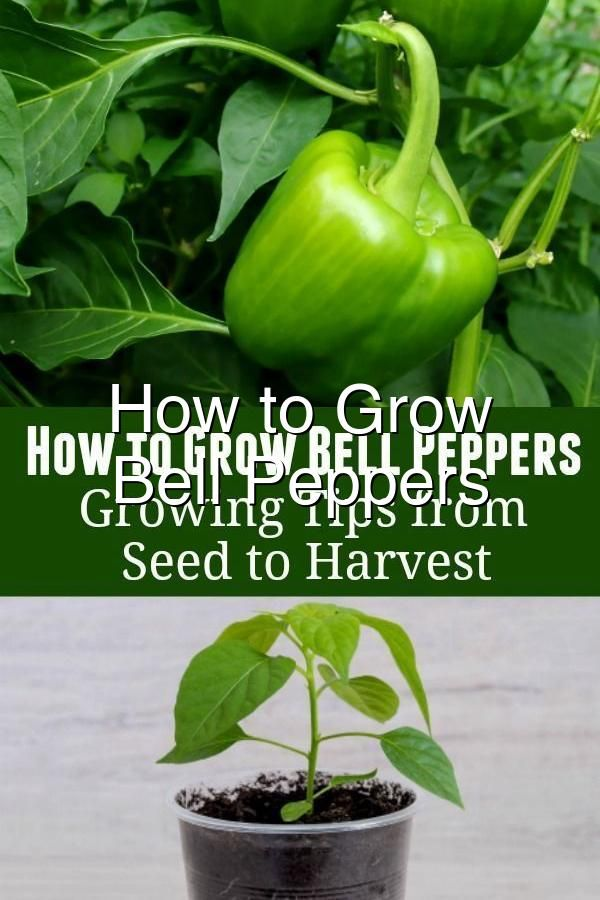 How To Grow Green Bell Peppers In 2020 Stuffed Peppers Stuffed Bell Peppers Vegetables