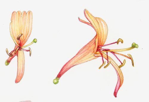 Detail of botanical study of honeysuckle by Lizzie Harper