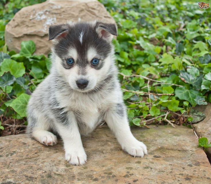 Pomsky Dog Breed Information, Facts, Photos, Care | Pets4Homes