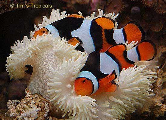 Common Clownfish, Amphiprion ocellaris