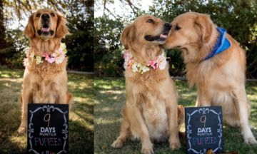 Pregnant Dog Totally Slays Maternity Photo Shoot | The Huffington Post