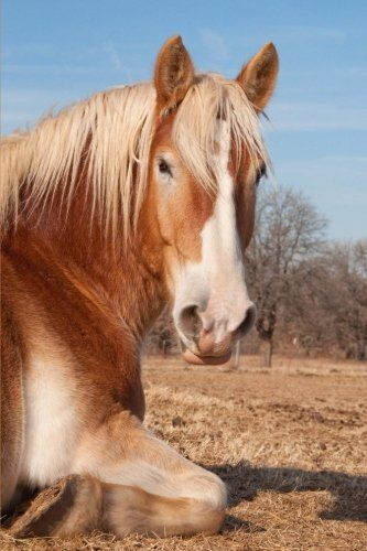 The Belgian draft horse was developed in the fertile pastures of Belgium.