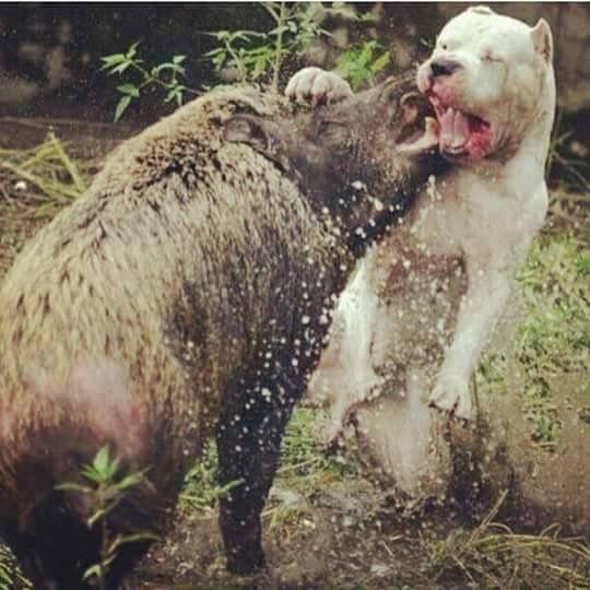 Dogo Argentino Hunting Puma
