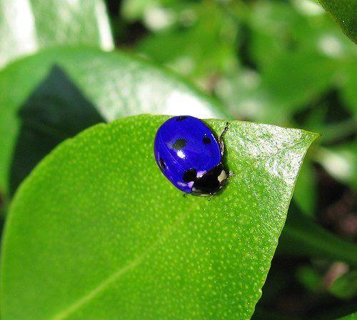 """せつなさんのツイート: """"まるで宝石?! 青いてんとう虫さんはオセアニア地方にしかいないそうな。 ほんと、鉱物みたいにメタリックでキラキラしてる。…"""