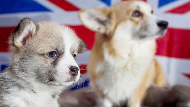 Corgis Are Now a 'Vulnerable' Breed in Britain - ABC News