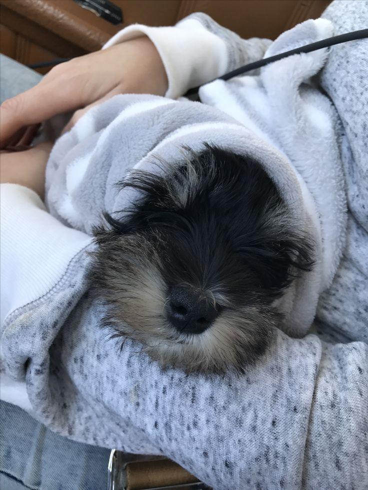Vito #MiniSchnauzer Schnauzer Puppy. Muy cómodo en su primer vuelo!