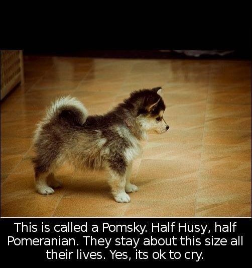 I want one Pom-ski. Husky mixed with palmeranian