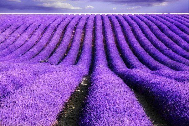 Лавандовые поля во Франции фото #1