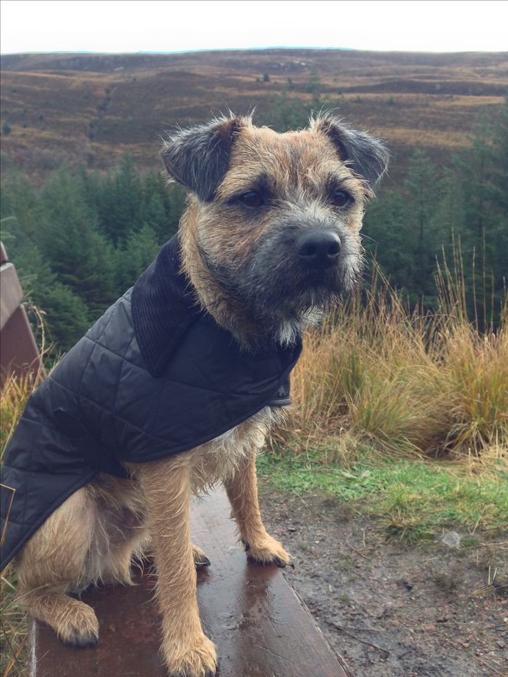 Border Terrier in Barbour Jacket