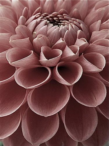 dahlia | perfectly pretty pastels | Flowers, Beautiful ...