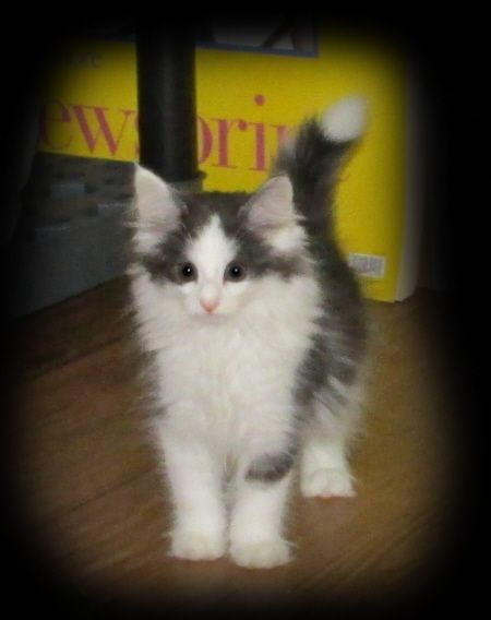 norwegian forest kittens for sale and adoption just
