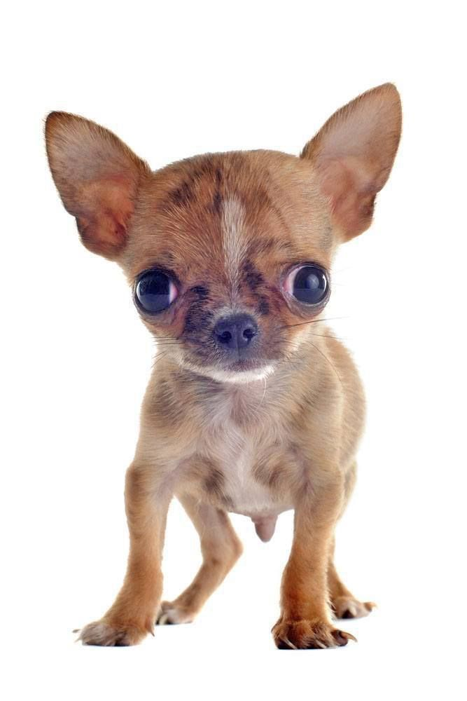 What Is That You Re Eating Click On This Applehead Chihuahua