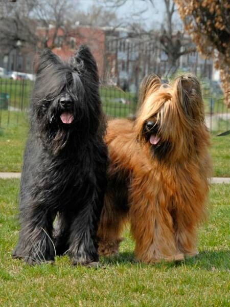 302 best ~Briards~ images on Pinterest | Big dogs, Doggies ...