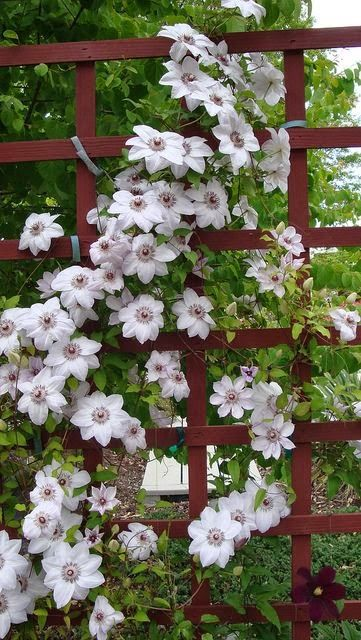 Clematis Miss Bateman....Blooms are 6 inches. They show up mid sprig to early summer . Plant grows to 6 feet. by seedmoney1 on Flickr.