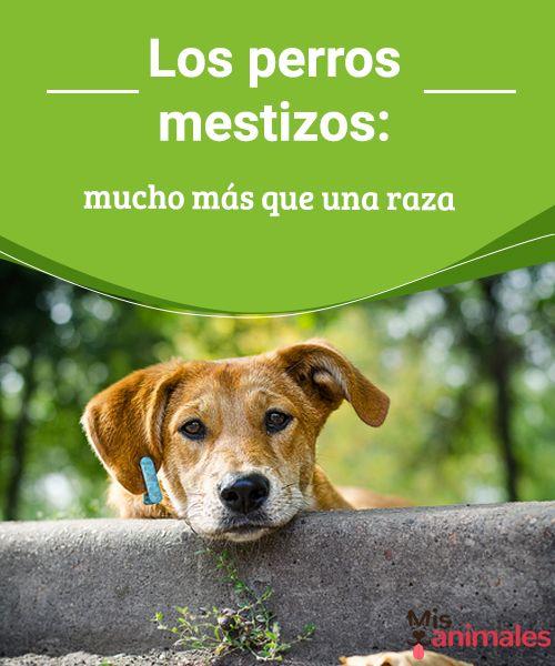 Los perros mestizos: mucho más que una raza Los perros mestizos son el producto del cruce de diferentes razas, que se han ido mezclando a su vez con otras y que generan caninos con características únicas. #raza #mestizos #consejos