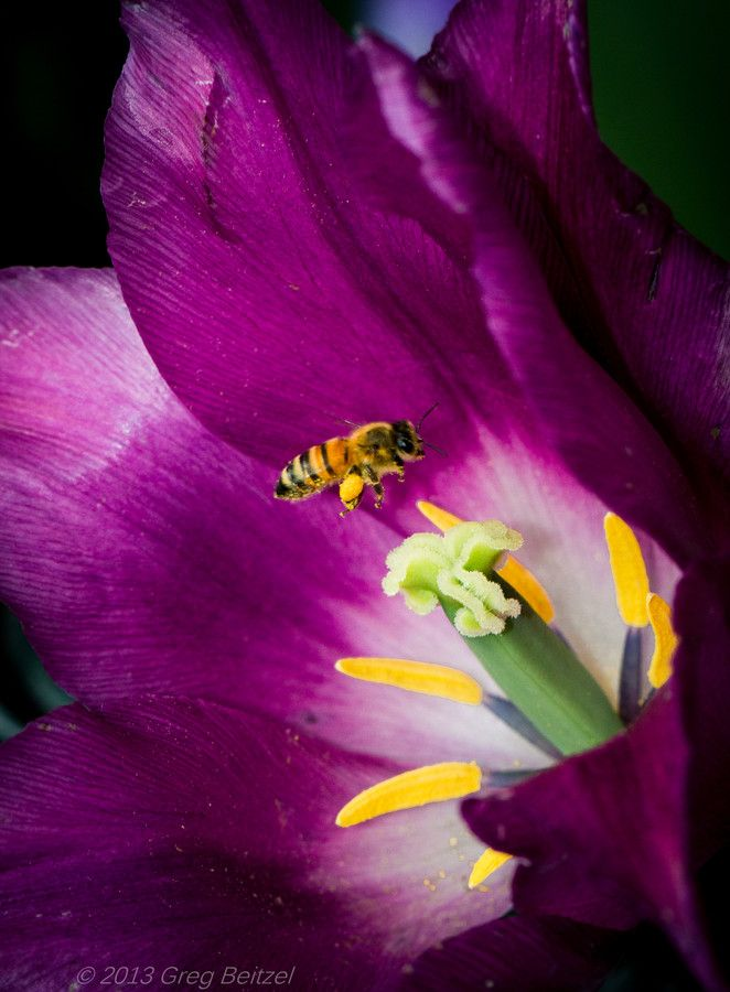 pollinating bee - tulip lunch