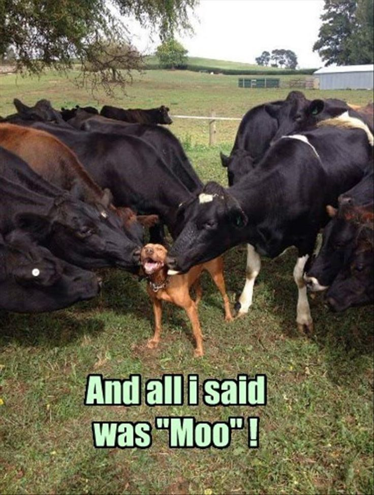 Cows and dog. Too cute!                                                                                                                                                                                 More