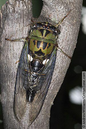 A bug's life: Cicada emergence is a mysterious, massive phenomenon