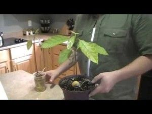 How to grow avocado trees from seed ! (VIDEO)