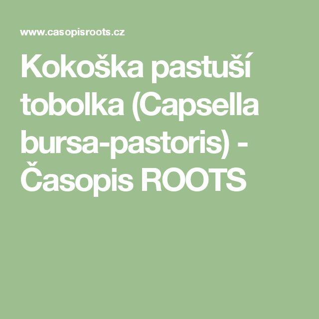 Kokoška pastuší tobolka (Capsella bursa-pastoris) - Časopis ROOTS