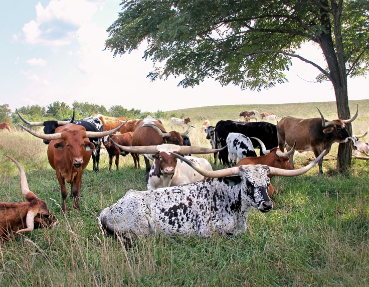 Herd of contented Longhorn Cows relaxing in the shade. (Photo courtesy of Dickinson Cattle Co.)
