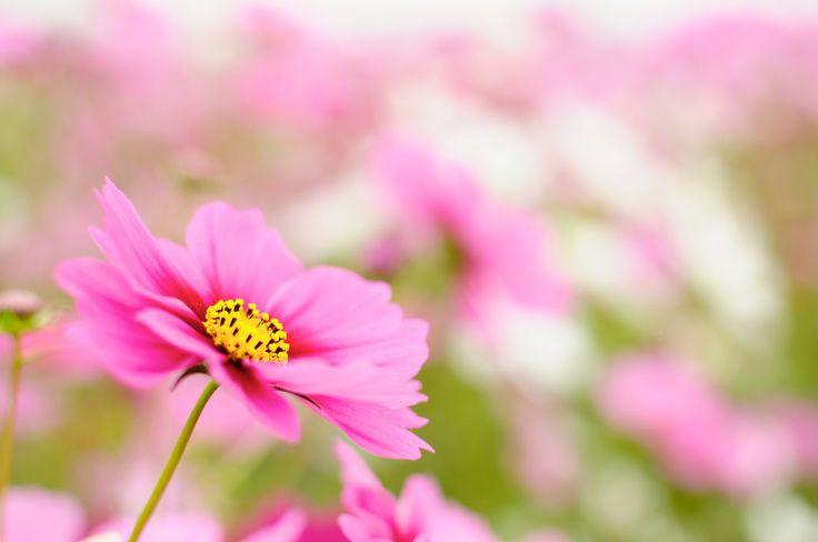 https://flic.kr/p/8LyVjX   秋桜 cosmos   コスモス畑 やっと発見! 気をつけないと 超キケン!(ラップ調)
