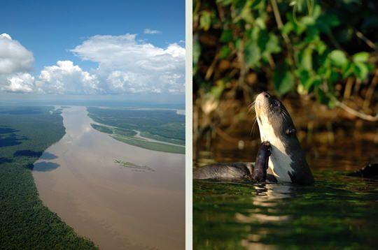 Amazone et loutre géante