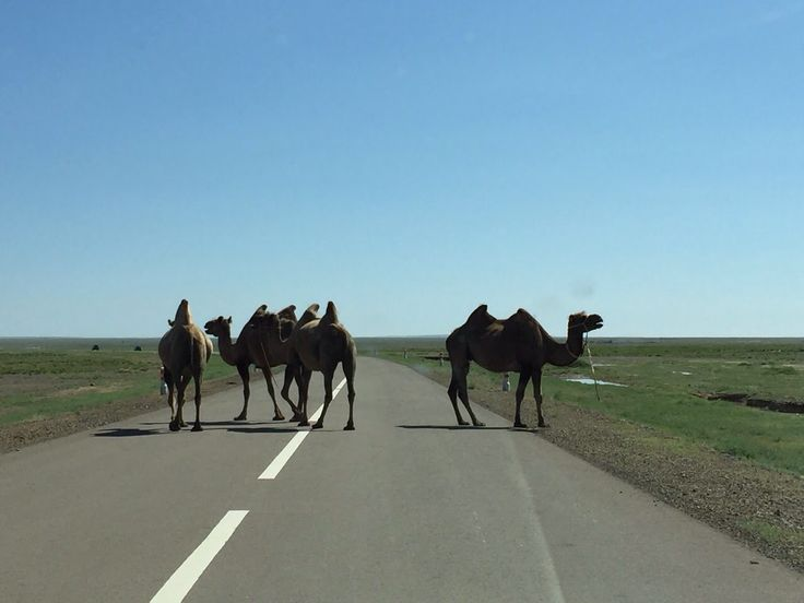 Jadę sobie samochodem w Mongolii, a tutaj takie ciekawostki na drodze. Nie wiedziałem, że tam są wielbłądy...