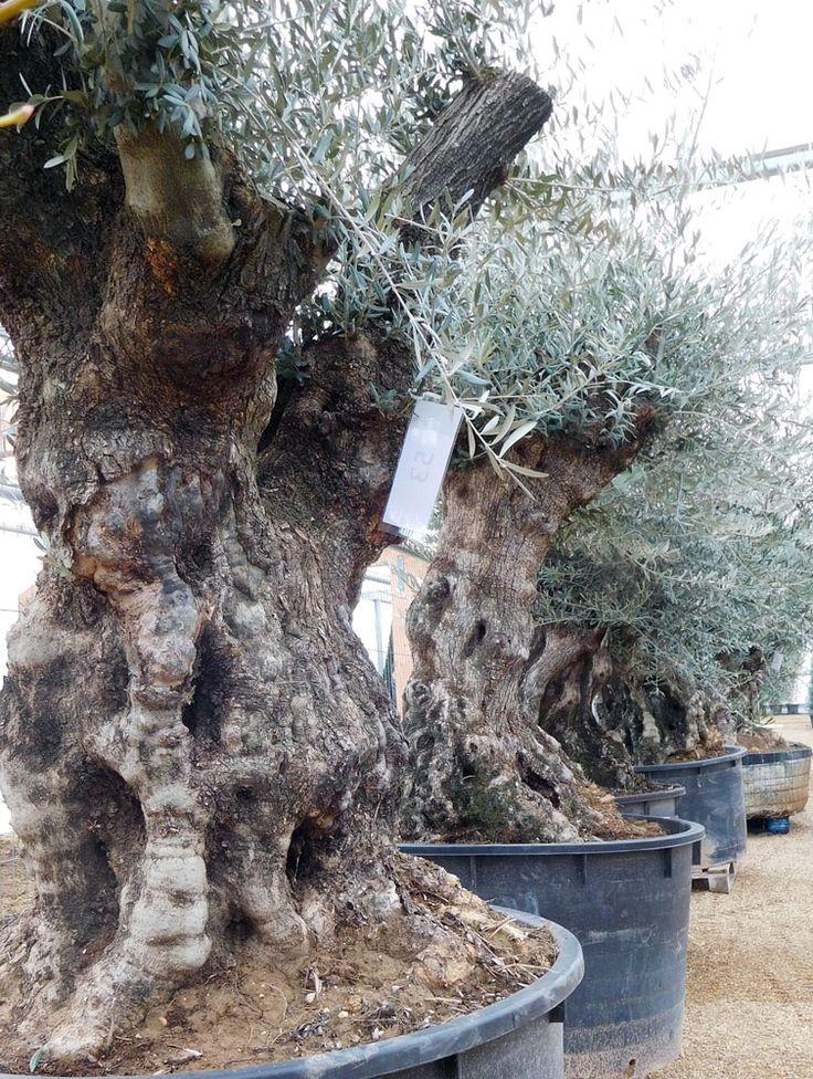 Olive Tree Care | Gnarled Olive Tree