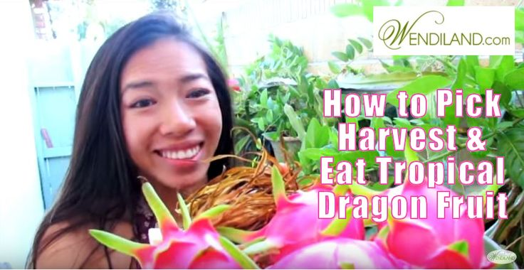How to Eat Pick Harvest Tropical Dragon Fruit:  Featured by Happy House & Garden