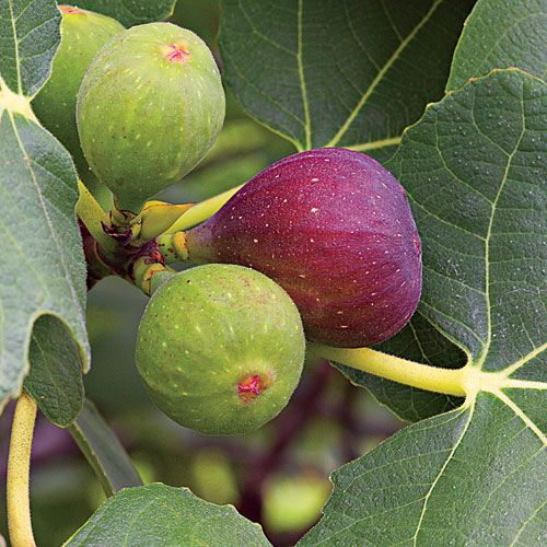 How To Grow Fig Trees...