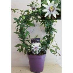 Passionflower, Passiflora white round 45cm